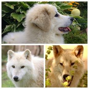 Bella (Pyri), Nukka (Alaska Tundra Wölfin), Hudson (Polarwolf)