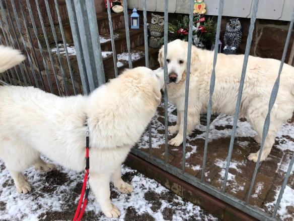 Die Bella und ihr Freund Charlie, der Goldige Retriever