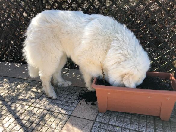 Gartenarbeit – Bella hilft!