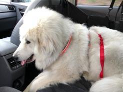 Bella in ihrem Auto