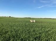Bella flitzt über's Feld