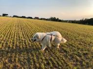 Bella auf dem kurz geschnittenen Feld
