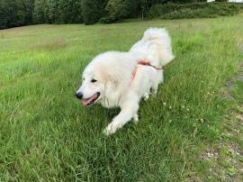 Die Bella strolcht über die Wiese
