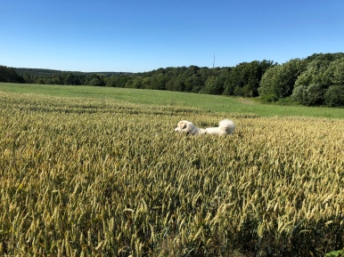 Die Bella im Weichweizenfeld