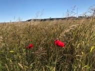 Wildes Weizenfeld mit Mohn