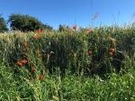 Weizenfeld mit wildem Mohn