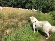 Bella und die Pyrenäenbergrindviehcher