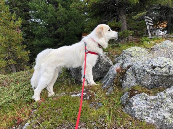 Eine echte Pyrenäenberghündin in den Bergen