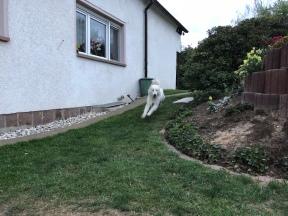 Die Bella jagt durch ihren Garten
