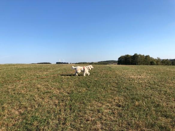 Die Bella hoppelt über ihre große Feldwiese