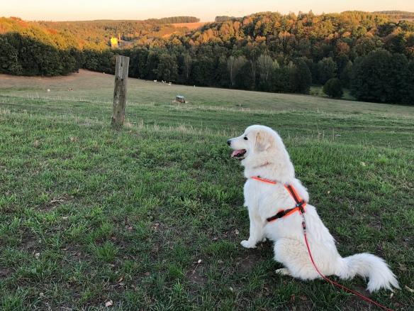 Die Bella beobachtet die Rindviehcher
