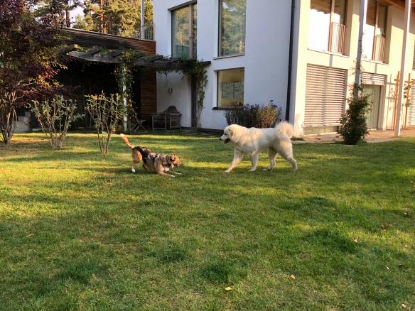 Die Bella spielt mit Dakota