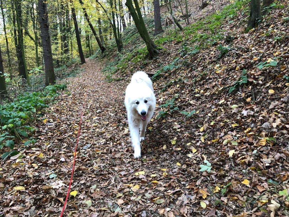 Die Bella geht im Herbstwald spazieren