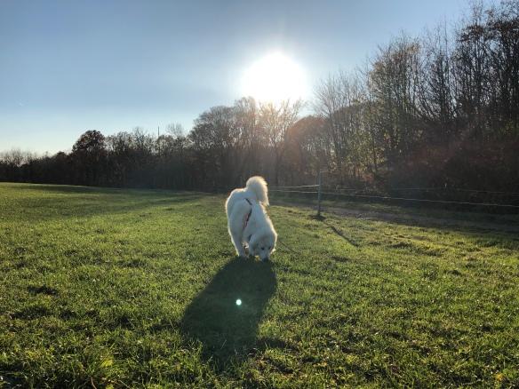 Die Bella scnuffelt auf ihrer großen Feldwiese