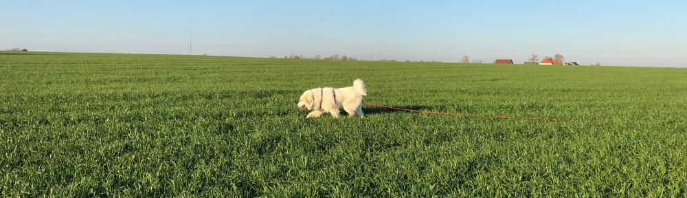 Die Bella schlendert übers Feld