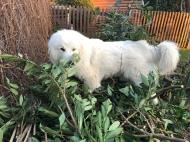 Die Bella hilft im Garten