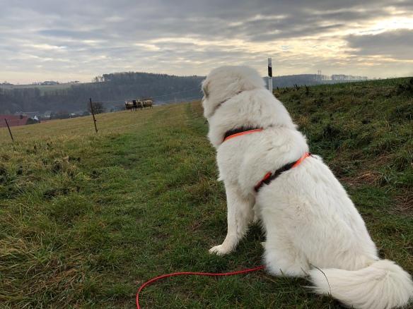 Die Bella bewacht Schafe