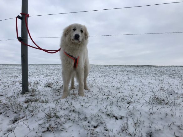 Eine Bella auf ihrer großen Feldwiese