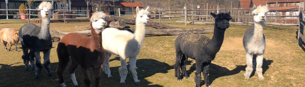 Zoobesuch: Alpakas bestaunen die Menschen