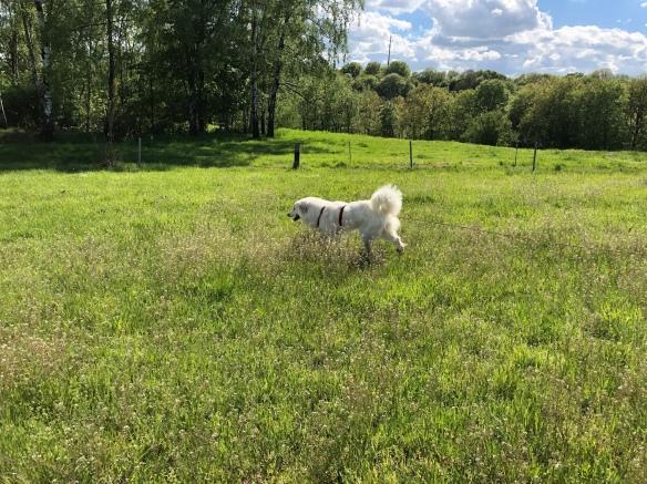 Die Bella auf ihrer großen Feldwiese