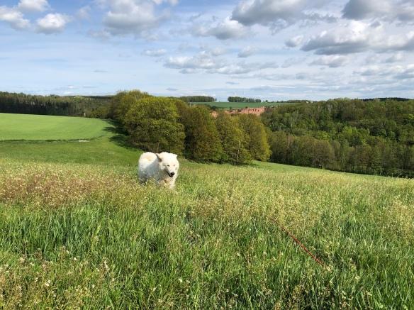 Die Bella flitzt durch das hohe Gras …