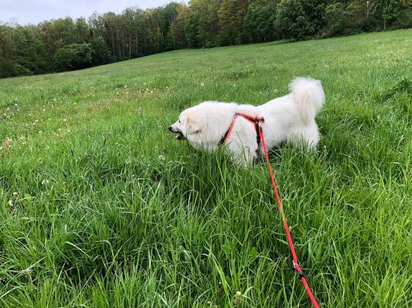 Die Bella knabbert im Gras