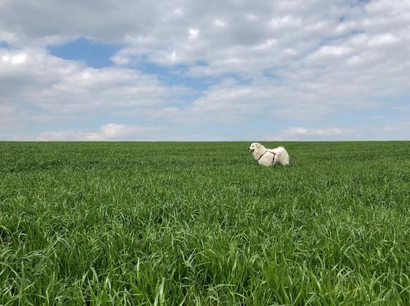 Die Bella Beim Spaziergang auf dem großen Feld