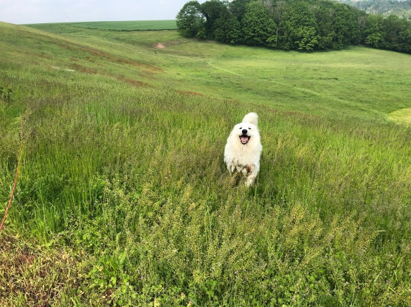 Die Bella hüpft durch's hohe Gras