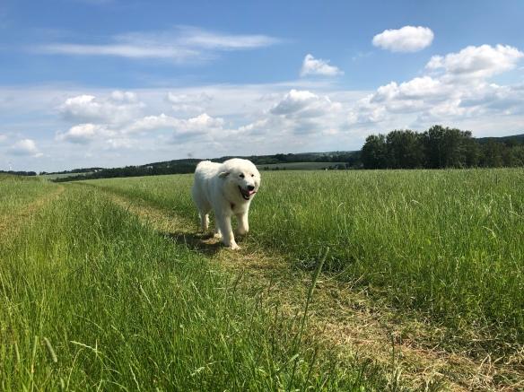 Die Bella auf der großen Feldwiese