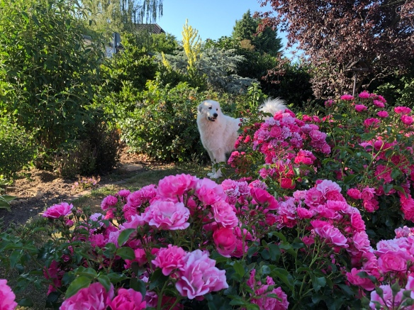 Die Bella versteckt sich hinter ihren Rosen