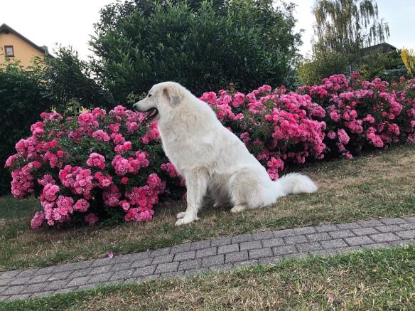 Ganz brav im Garten bei den Rosen