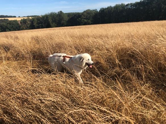 Spaziergang im hohen gelben Gras