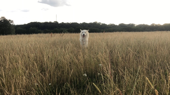 Beim Abendspaziergang über meine große Feldwiese flitzen