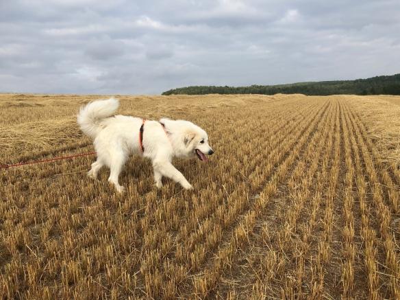 Die Bella schnuffelt über das große Feld