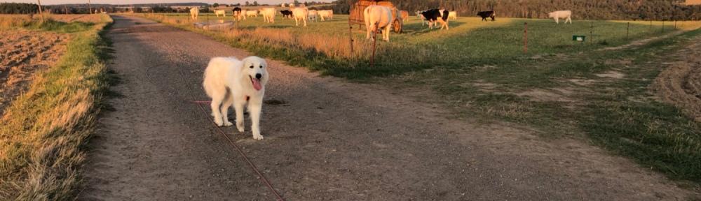 Die Bella und die dicken Kühe
