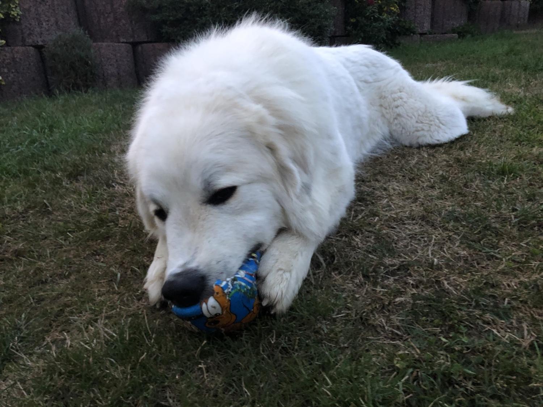 Die Bella spielt mit ihrem Ball