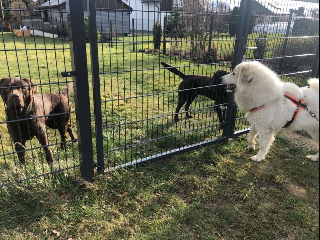 Bei den Labradoren-Jungs auf dem Heimweg