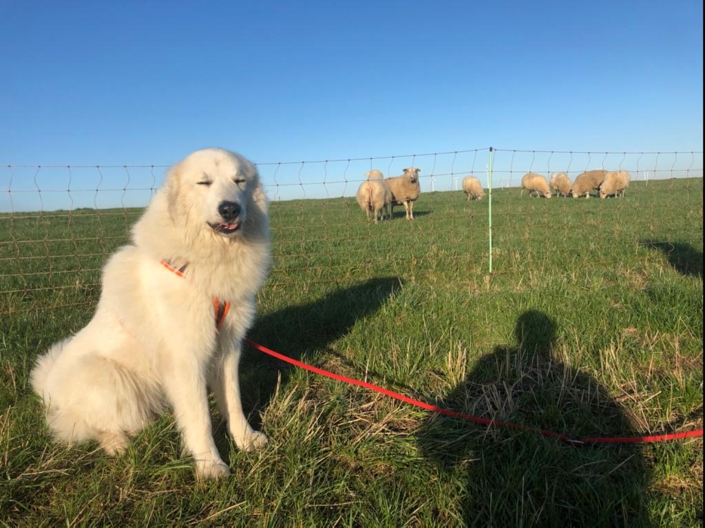 Bei meinen Schafs