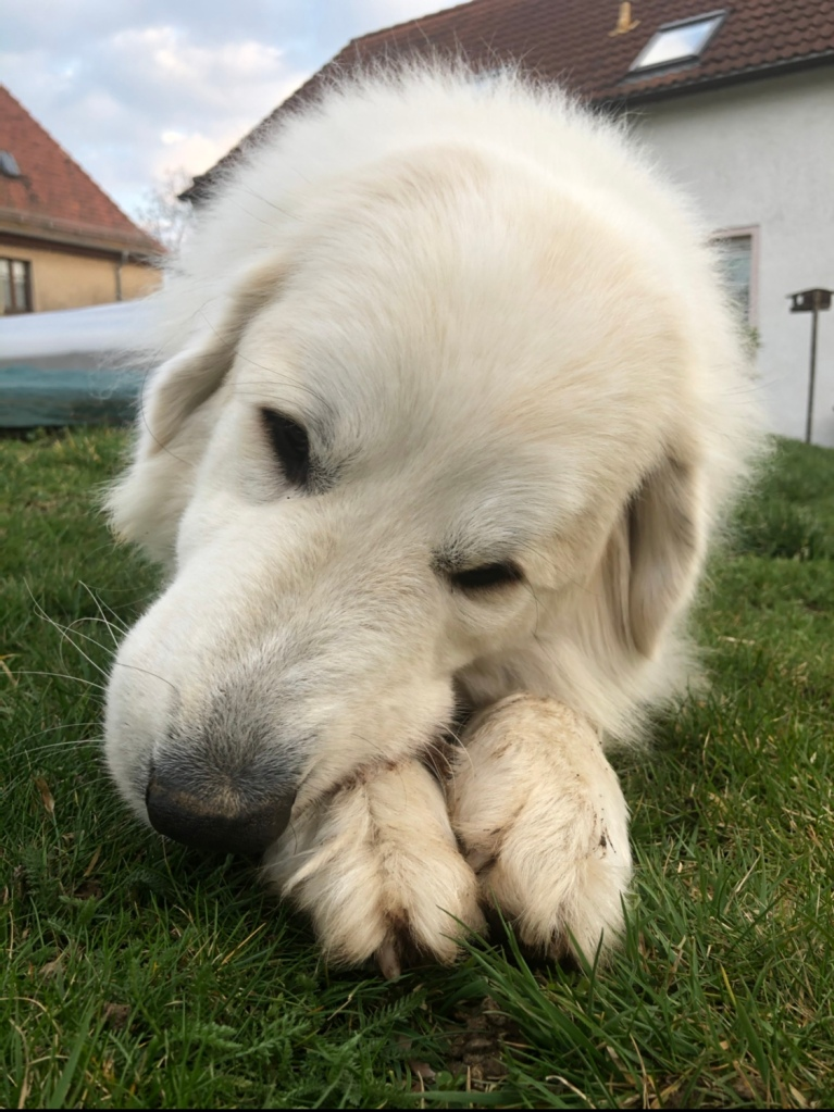 Die Bella knabbert auf der Wiese in ihrem Garten